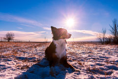 Border Collie fotografia stock