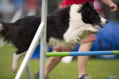 Border collie Photo libre de droits