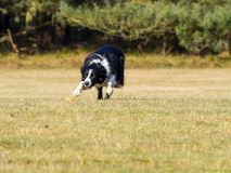 Border collie Immagini Stock