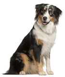Border Collie, 9 months old, sitting stock photo