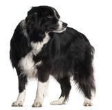 Border Collie, 9 years old, standing Stock Photography