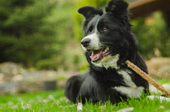 Border collie Foto de Stock