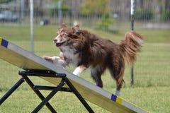 Border collie ad una prova di agilità del cane Fotografie Stock
