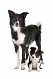 Border collie adult and puppy royalty free stock images