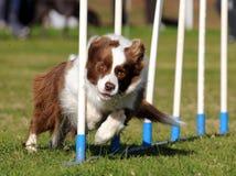 Border Collie agility stock photo