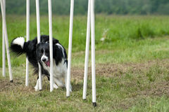 Border collie on agility course Royalty Free Stock Photo