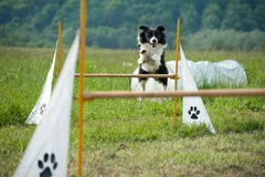 Border collie on agility course Stock Images