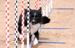Border Collie agility poles. Border Collie weaving through poles in an agility course peaking with one eye open stock photo