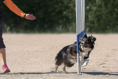 Border Collie in the agility slalom Royalty Free Stock Images