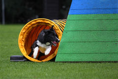 Border collie agility training. Border collie dog at agility training exiting a tunnel with high speed Stock Photo