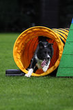 Border collie agility training. Border collie dog at agility training exiting a tunnel with high speed Stock Images