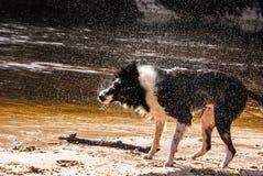 Border collie agita fora o movimento congelado água Imagens de Stock