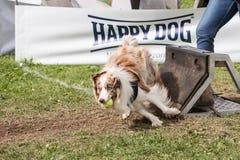 Border collie. Animal dog border collie outdoors stock image