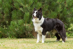 Border collie anseende på gräsmattan royaltyfria foton