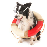 Border collie as rescue dog Stock Photos