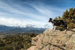Border collie auf dem Felsgelände, das über Bergen in Korsika schaut Stockbild
