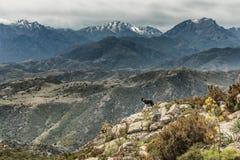 Border collie auf dem Felsgelände, das über Bergen in Korsika schaut Stockfotos