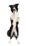 Border collie auf Hinterbeinen stockfotos