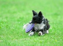 Border collie auf Hundfrisbee Lizenzfreie Stockfotos