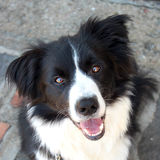 Border collie-Aufwartung Stockbild