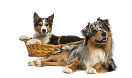 Border collie and Australian shepherd lying down, Royalty Free Stock Image