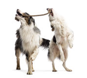 Border Collie and Australian Shepherd playing Royalty Free Stock Photography