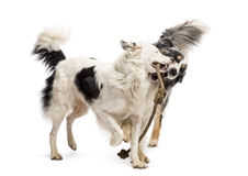 Border Collie and Australian Shepherd playing Stock Photography