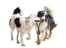 Border Collie and Australian Shepherd playing Stock Photos