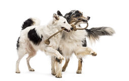 Border Collie and Australian Shepherd playing stock images