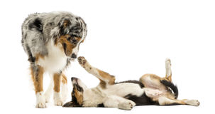 Border collie and Australian Shepherd playing together, isolated Royalty Free Stock Photography