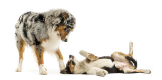 Border collie and Australian Shepherd playing together, isolated Stock Images