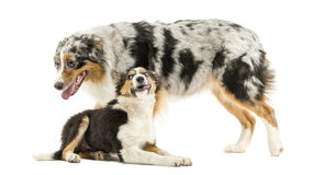 Border collie and Australian Shepherd playing together, isolated Stock Photo
