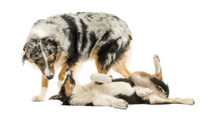 Border collie and Australian Shepherd playing together, isolated Stock Photos