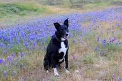 Border collie avec le fond de fleur photographie stock libre de droits