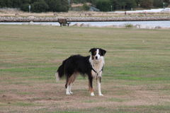Border Collie in Baiter Park, Poole Dorset Royalty Free Stock Photo