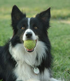 Border collie with ball Royalty Free Stock Photos