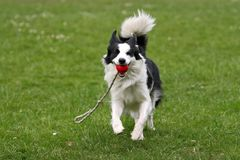 Border collie with a ball. Playful border collie carrying a ball royalty free stock photo