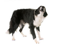Border collie barking. In front of white background stock photography