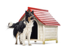 Border Collie barking next to a kennel