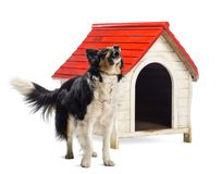 Border Collie barking next to a kennel against white background. Isolated on white royalty free stock image
