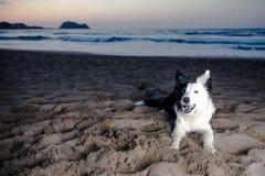 Border Collie on the beach stock photos