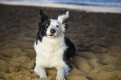Border Collie on the beach stock images