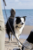 Border Collie at Beach Royalty Free Stock Photo