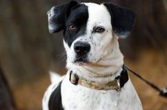 Border Collie Beagle mix dog black and white Stock Images