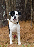 Border Collie Beagle mix dog black and white Royalty Free Stock Images