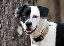 Border Collie Beagle mix dog black and white Stock Image