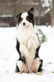 Border collie begging Royalty Free Stock Image