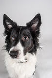 Border Collie Begs for Attention. Photogrpah of an attentive Border Collie on white background begging for attention Stock Image
