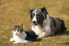 Border collie behind a cat. Border Collie fixing his gaze on a cat stock images