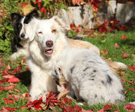 Border collie bitch with puppy Royalty Free Stock Photos